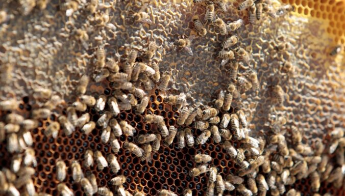 На террасе Ратуши в Риге разместят пчелиные ульи и привезут туда королев-маток