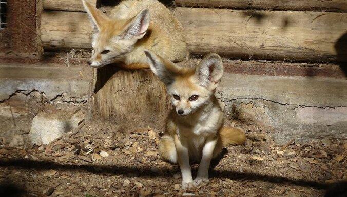 Rīgas zoo piedzimuši pasaulē mazāko lapsiņu mazuļi