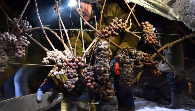 ФОТО. Как в Польше собирают виноград для знаменитого ледяного вина