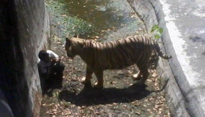 Китаец придумал оригинальный способ попасть в вольер к тиграм