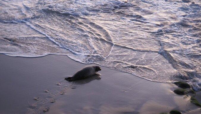Pirmoreiz Latvijas piekrastē dzimis roņu mazulis; dzīvnieks, visticamāk, neizdzīvoja