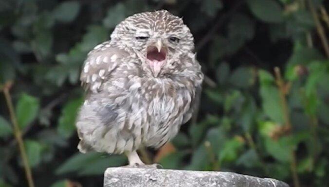 Video: Miegaina pūcīte mīlīgi žāvājas