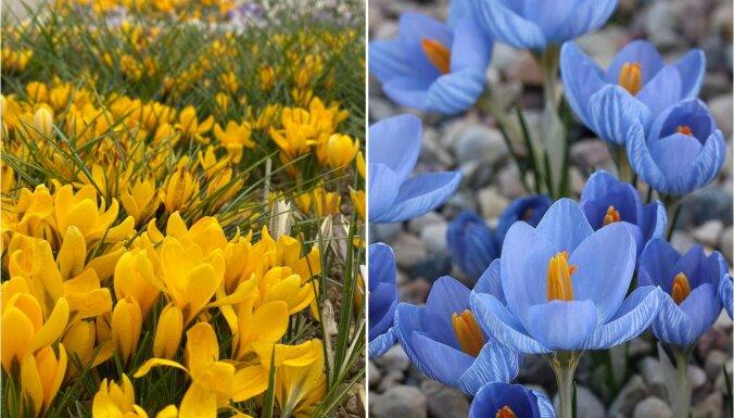 ФОТО. Под Цесисом цветет крупнейшая в мире коллекция крокусов