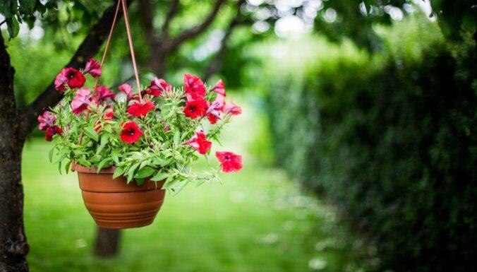 Populārāko vasaras puķu pārziemošana: ieteikumi un knifiņi augu saglabāšanā