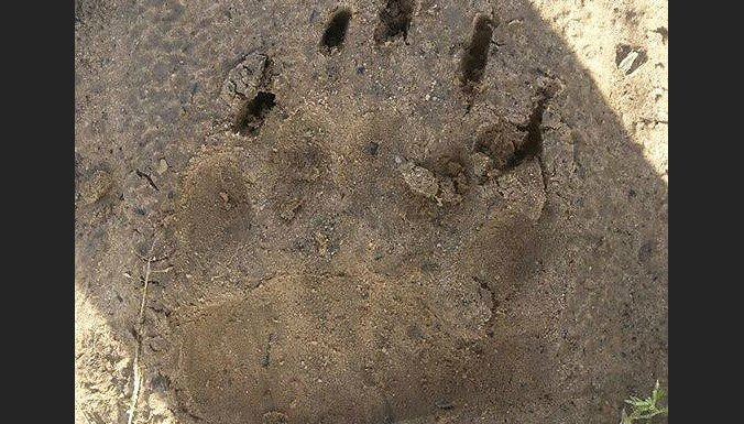 Рядом с Плаканциемсом замечен след медведя: жителей призывают к осторожности