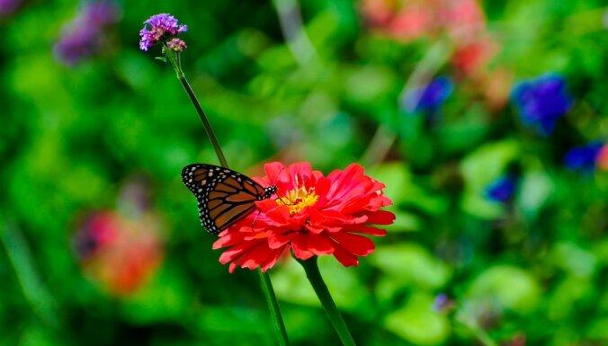 Ko stādīt dārzā, lai tajā lidotu skaisti tauriņi?