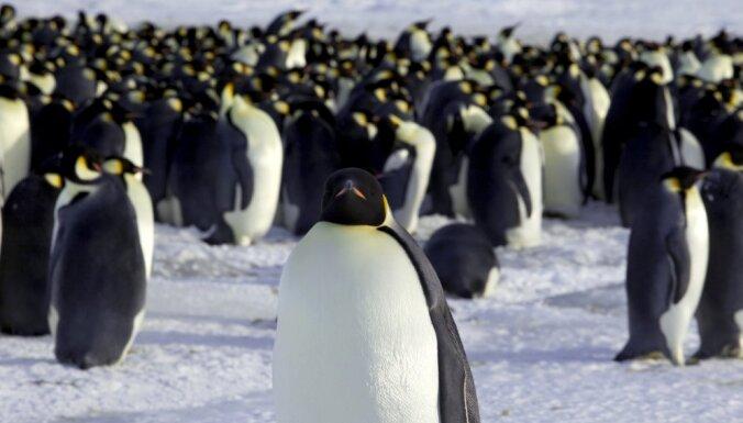 В Антарктике неожиданно размножились императорские пингвины
