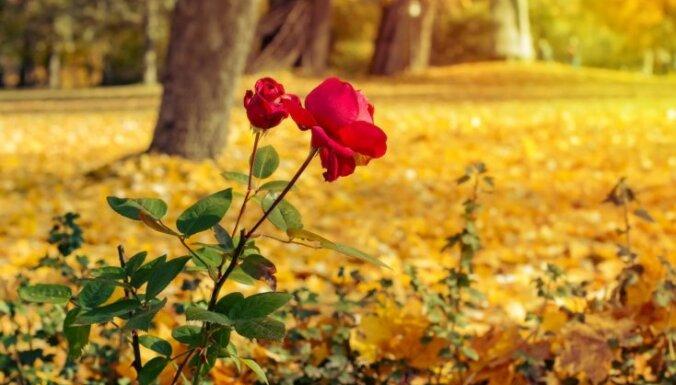 Rozes oktobrī zied pilnā sparā: atlapošana jāatliek uz vēlāku brīdi