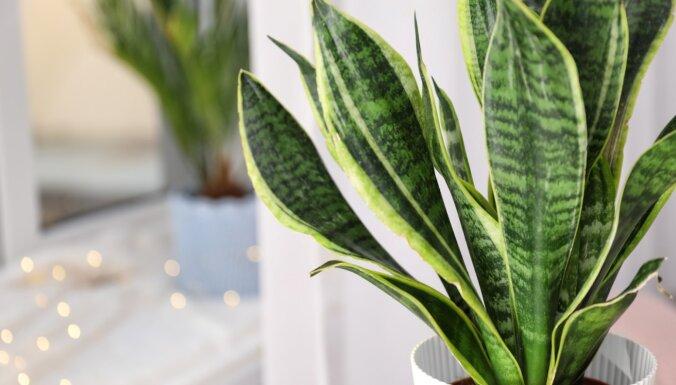 Graciozās līdakastes: padomi audzēšanā, lai augs priecētu ar ziedēšanu
