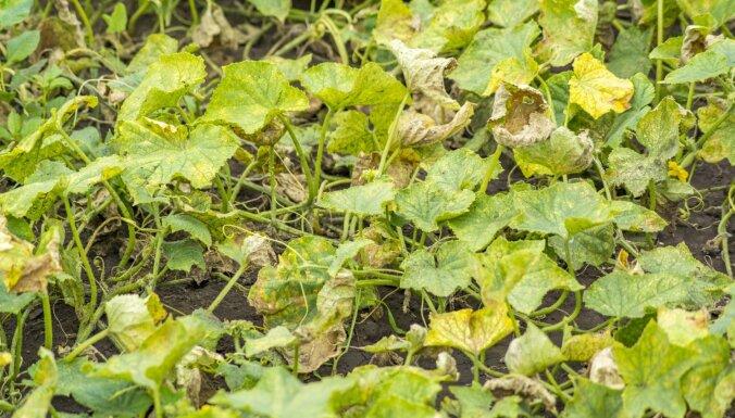 Kāpēc uz lauka audzētie gurķi nīkuļo
