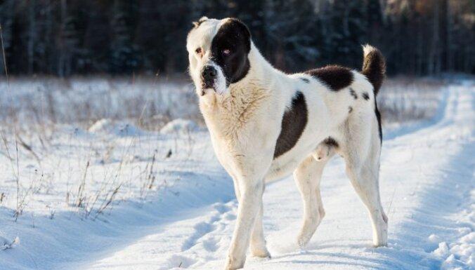 Среднеазиатские овчарки из Германии не прошли ветеринарный контроль на границе