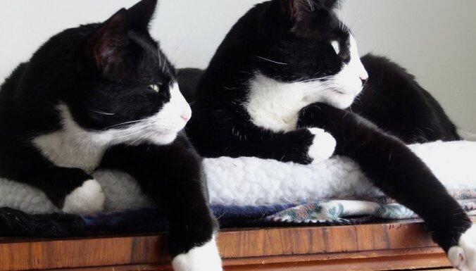 'Melns ar baltām ķepiņām': kāpēc tik daudziem mājas kaķiem ir baltas 'zeķes'