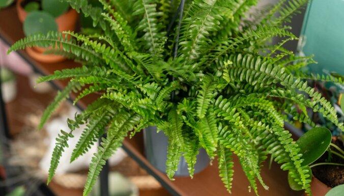 Zaļā mājas rota – istabas paparde jeb nefrolēpe. Knifiņi auga kopšanā