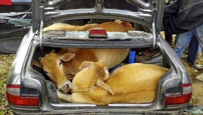 Kā vienā mašīnā dabūt iekšā četras govis?