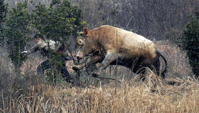Foto: Aptrakusi govs Ķīnā dzenas pakaļ fermeriem