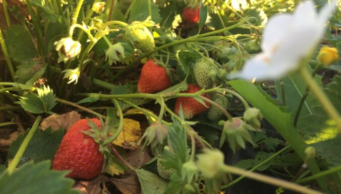 Prieks acīm un vēderam: pārdošanā pirmās uz lauka audzētās Latvijas zemenes