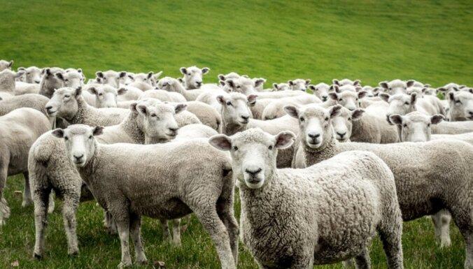 Через границу не пропустили более 19 тонн новозеландской овечьей шерсти