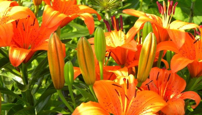 Lilijas un ne visiem zināmi fakti par karaliskajām puķēm