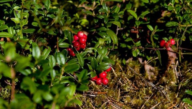 В Швецию из-за рубежа приедут 6000 сборщиков ягод