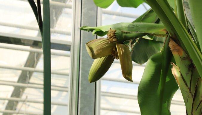 Japānas banāns zied