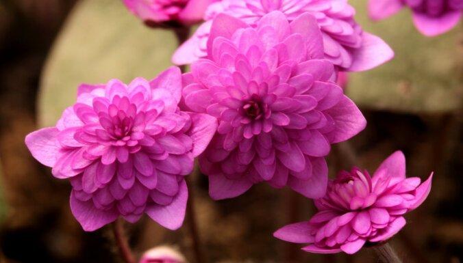 ФОТО. Яркие и красочные: в коллекционном саду в Кокнесе вовсю цветут разноцветные перелески