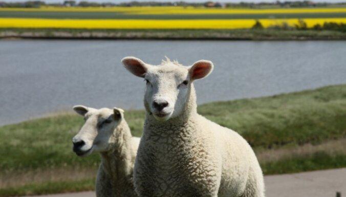 Водитель грузовика прямо под знаком сбил овцу