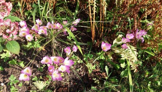 Labs nāk ar gaidīšanu – vēlziedes un to audzēšana dārzā