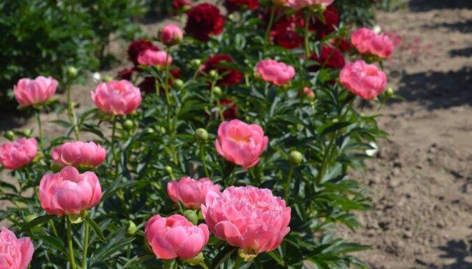 Foto: Romantiskie peoniju dārza svētki Kuldīgas novadā