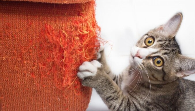 Kāpēc kaķis mēdz skrāpēt mēbeles