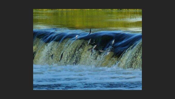 Kuldīgā virs Ventas rumbas lido zivis