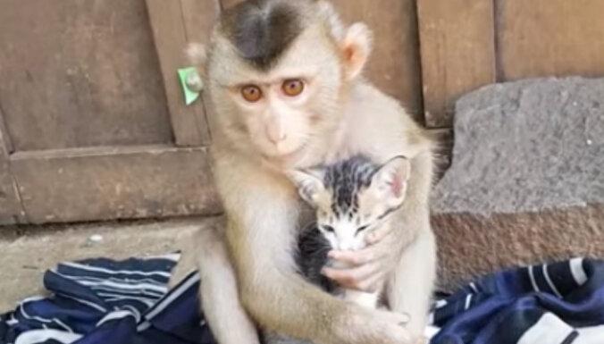 Neparasts video: Pērtiķēns samīļo mazu kaķi
