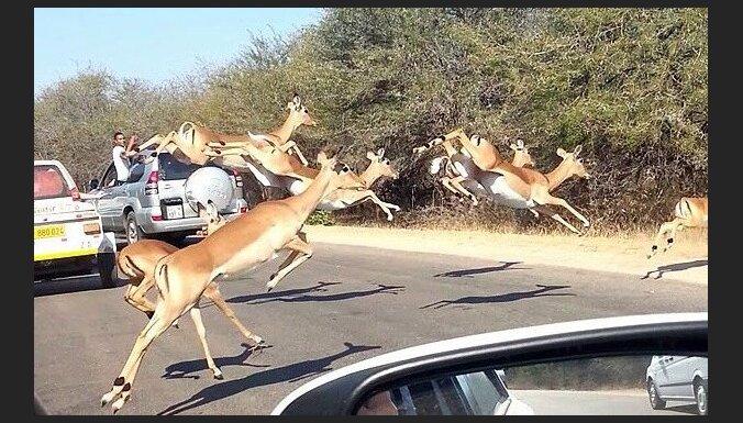 Bēgot no geparda, antilope ielec mašīnā