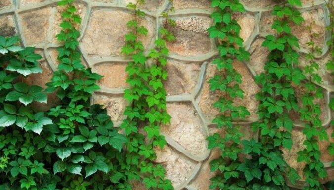 Zaļās sienas un romantiskās noskaņas radītājas vīnstīgas