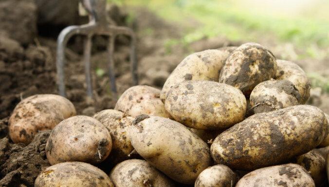 Agronoms pierāda - Latvijā iespējamas divas ražas un februārī rok jaunos kartupeļus