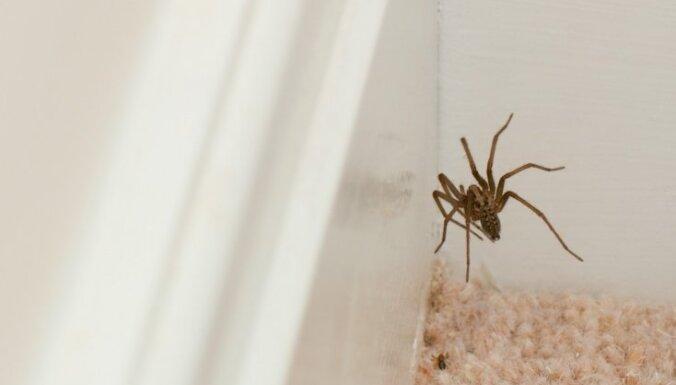 Zirnekļu atgaiņāšanas metodes un speciālistu skaidrojums, kāpēc tie nāk mājokļos