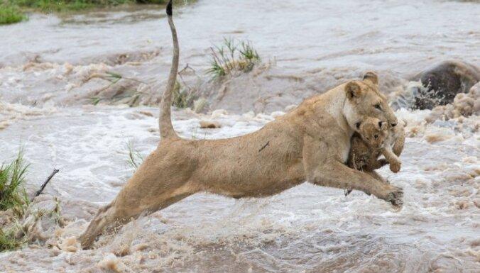 Dabas foto: Kā lauvu mamma rūpējas par mazuli
