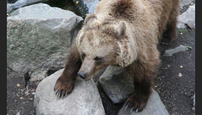 Viļakas novadā manīts milzīgs lācis