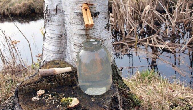 В Латвии не контролируют качество березового сока: могут продать и воду с сахаром