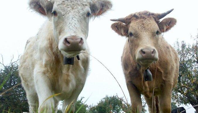 Под Клайпедой поезд разметал стадо коров