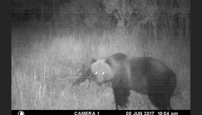 ФОТО: В Кокнесском крае заметили крупного медведя