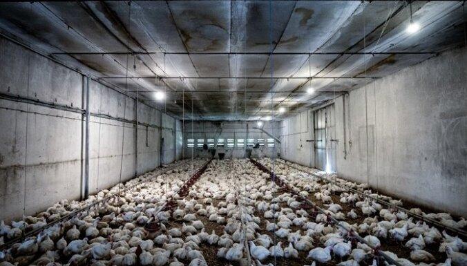 'Dzīvnieku brīvība': Industriālā lopkopība ir viens no galvenajiem globālu pandēmiju riska faktoriem