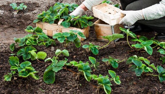 No augu mēslošanas līdz mulčēšanai – speciāliste nosauc ogulāju darbus aprīlī