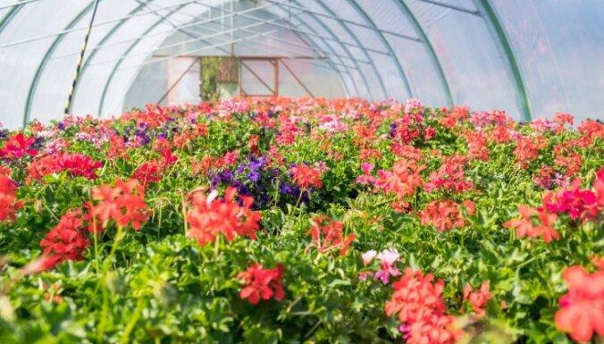 Bulduru siltumnīcās sazaļojuši un saziedējuši koši pavasara augi