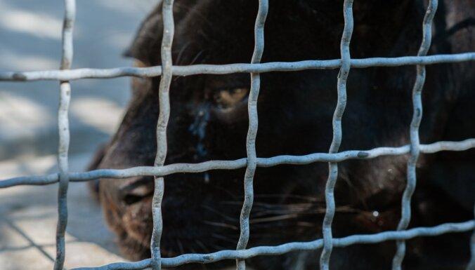 Par cietsirdību pret melno leopardu tiek pie kopumā 50 000 eiro naudas soda