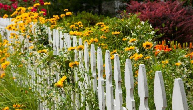Puķu dārza špikeris: krāšņākās, izturīgākās ziemcietes un padomi audzēšanai