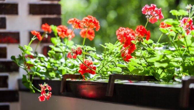 Ar puķu izvēli nekas nebeidzas: svarīgākais par balkona dārza kopšanu