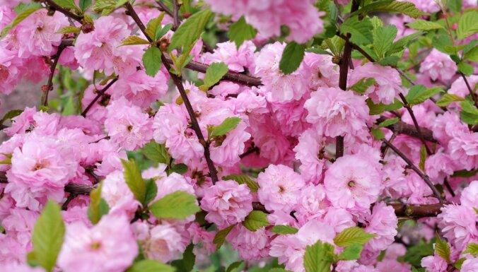 Skaistā dārza rota – mandeļkoks. Ko der zināt par tā audzēšanu