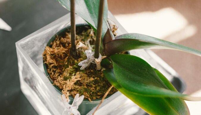 Kāpēc orhidejai vīst lapas un kā izdabāt augam