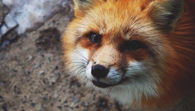 Foto: Viltīgākā vieta pasaulē – lapsu ciemats Japānā