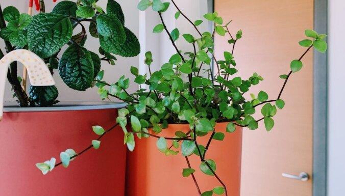 Latvijā darbu sācis Baltijā pirmais augu abonēšanas serviss